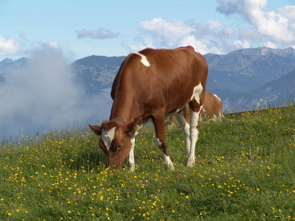 Eine Kuh auf der Alm