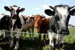 Eine Kuh macht MUH .....
