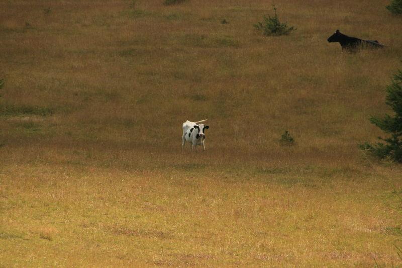 eine Kuh und eine Zweite dazu