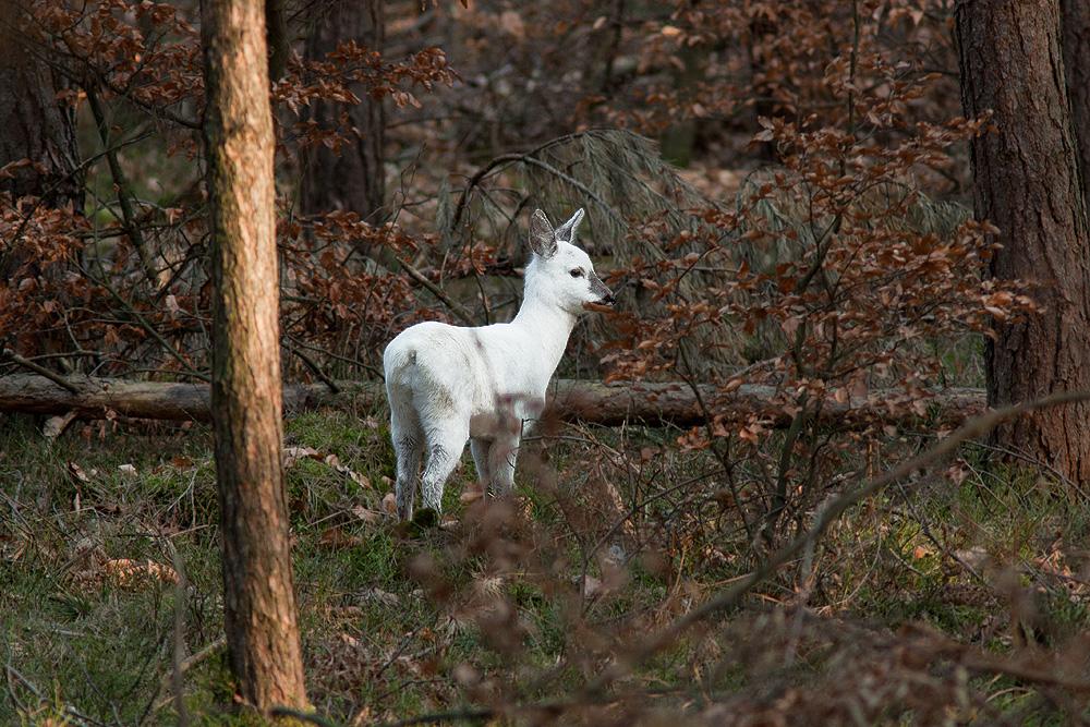 Eine Laune der Natur oder das weiße Reh