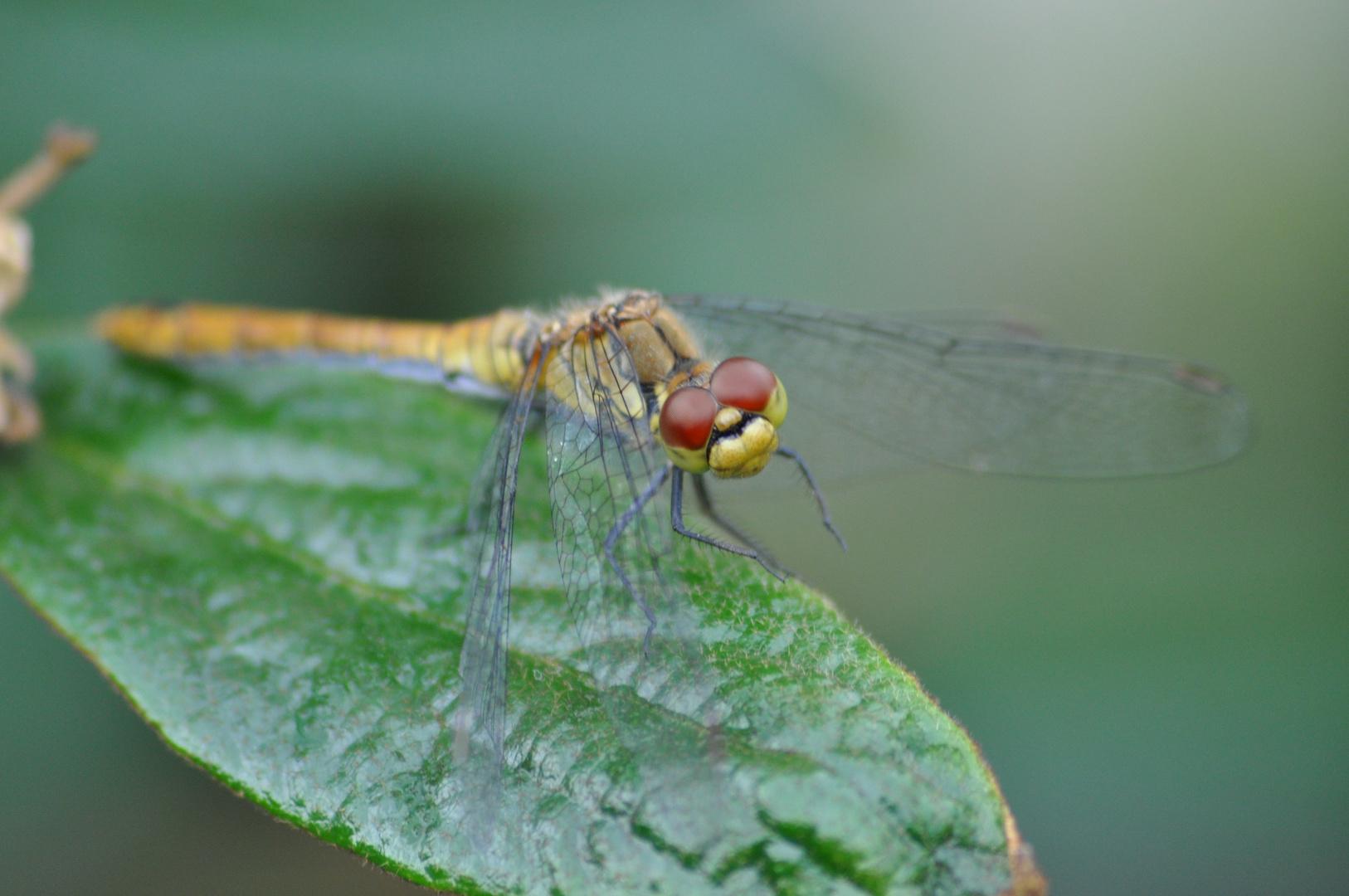 Eine Libelle auf einem Schneeballblatt
