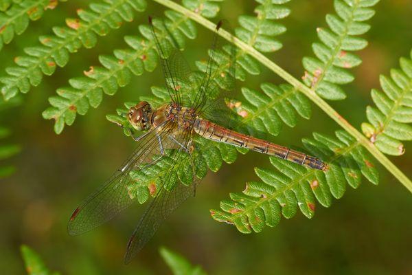 Eine Libelle auf ihrer Haltestelle...