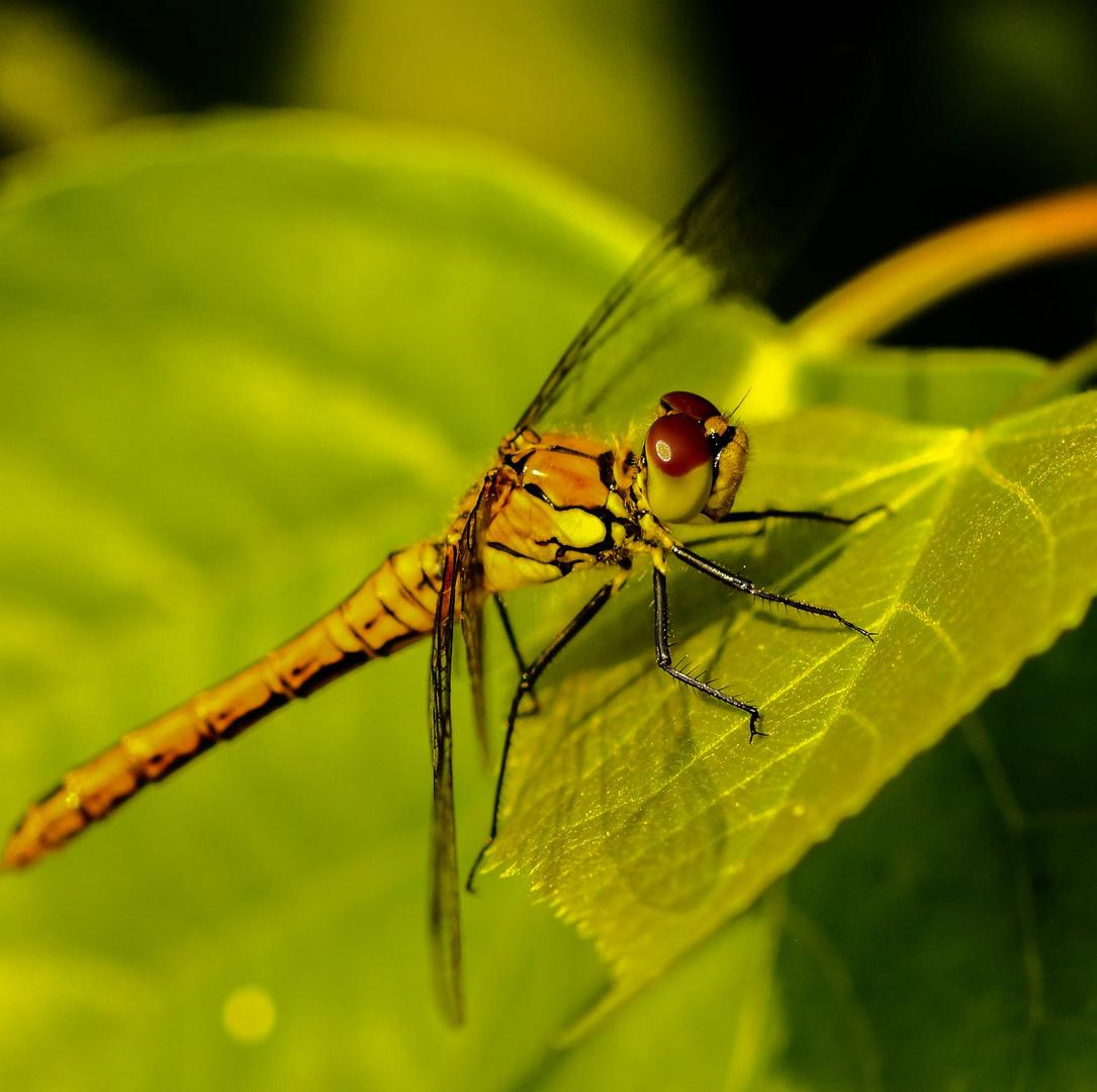 Eine Libelle macht Pause