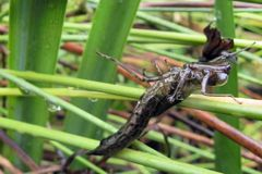 Eine Libelle schlüpft