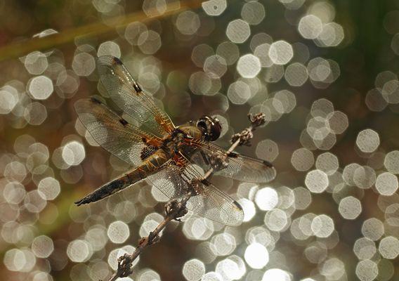 **Eine Libelle und ihr eigener Sternenhimmel**