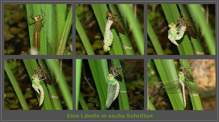 Eine Libellen in sechs Schritten