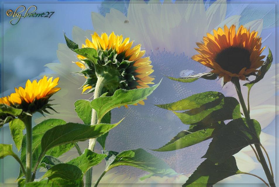 Eine Liebeserklärung an die Sonnenblume............