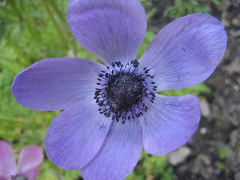 eine lila Blume...