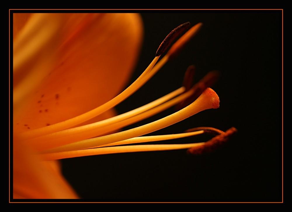 Eine Lilie