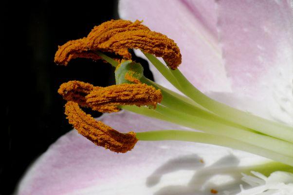 ...eine Lilie