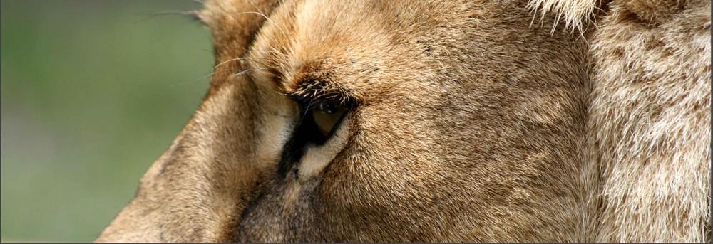 *Eine Löwin hautnah*