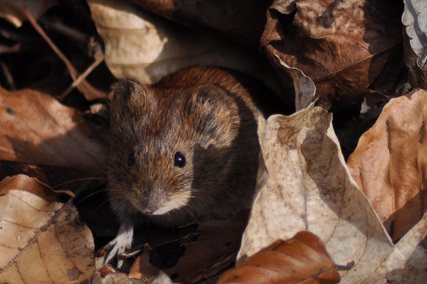 Eine Maus im Wald