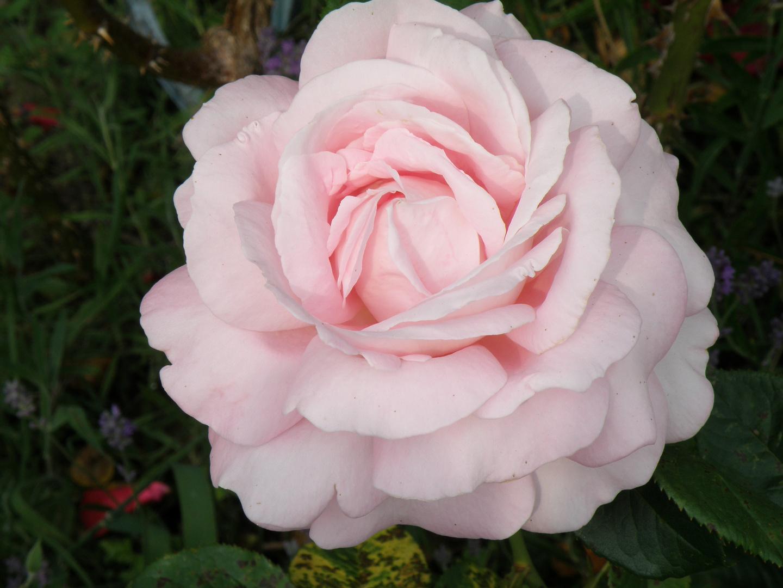 Eine meiner allerschönsten Rosen