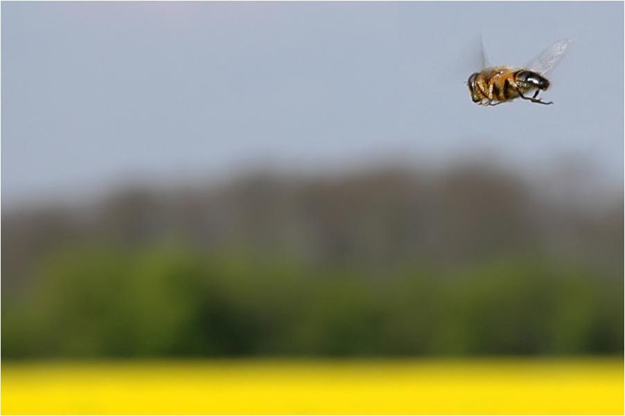 eine Mistbiene erkundet die Welt