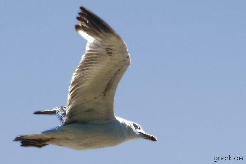 Eine Möve bei ihrem Flug durch die losinjer Lüfte...