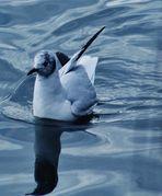 eine Möwe in ruhiger Bahn zieht sie auf dem  Wasser