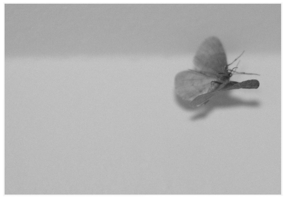 eine Motte - oder: fliegender Mantelrochen