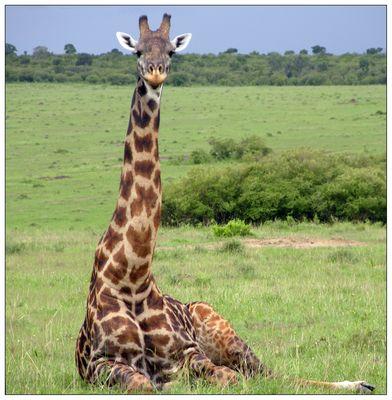 eine müde Giraffe