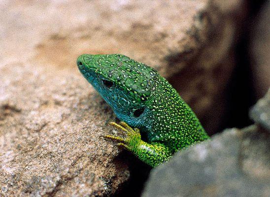 Eine neugierige Smaragdeidechse.
