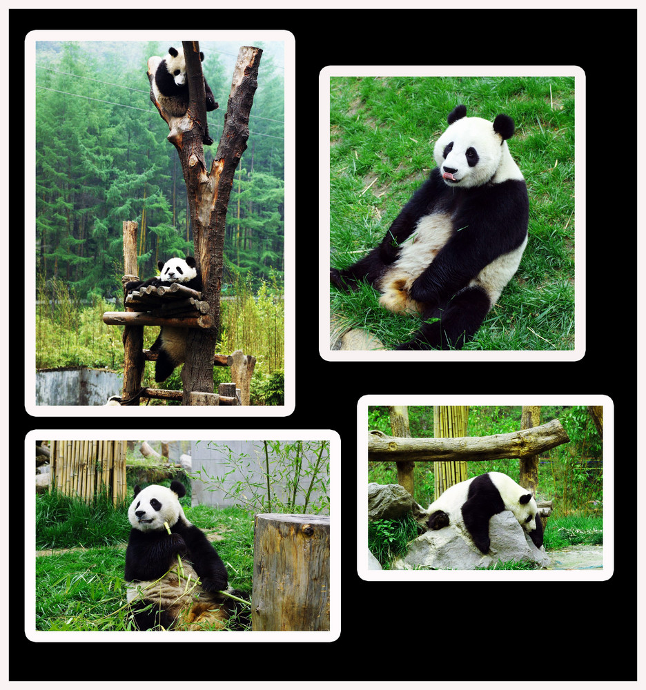 eine pandacollage