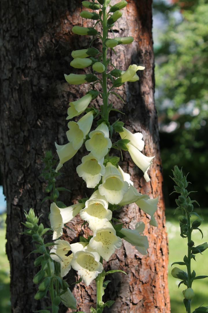 Eine Pflanze für das Herz
