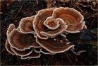 Eine Pilzblüte zum 1. Advent