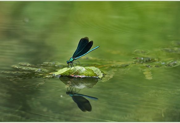 eine prachtlibelle