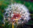 Eine Pusteblume zu später Jahreszeit am Wegesrand
