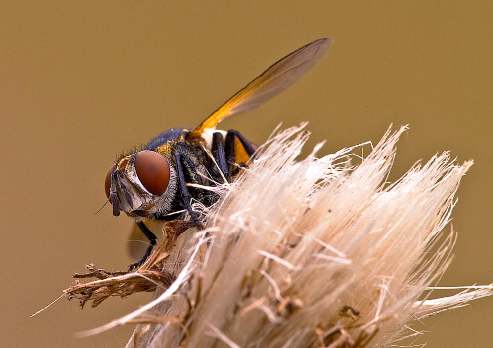 Eine Raupenfliege