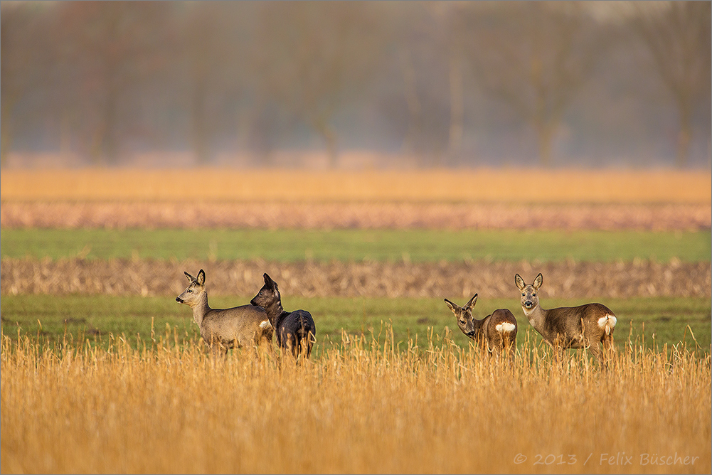 Eine Rehgruppe zieht durch die Moorwiesen.