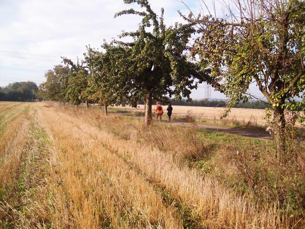 Eine Reihe Strueobstbäume