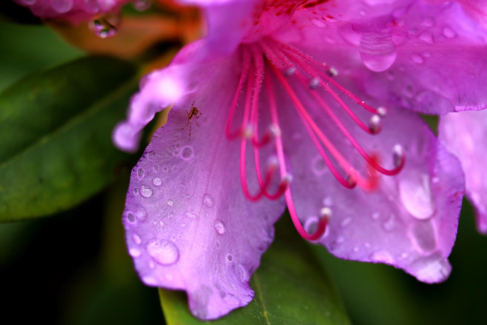 Eine Rhododendronblüte am Morgen
