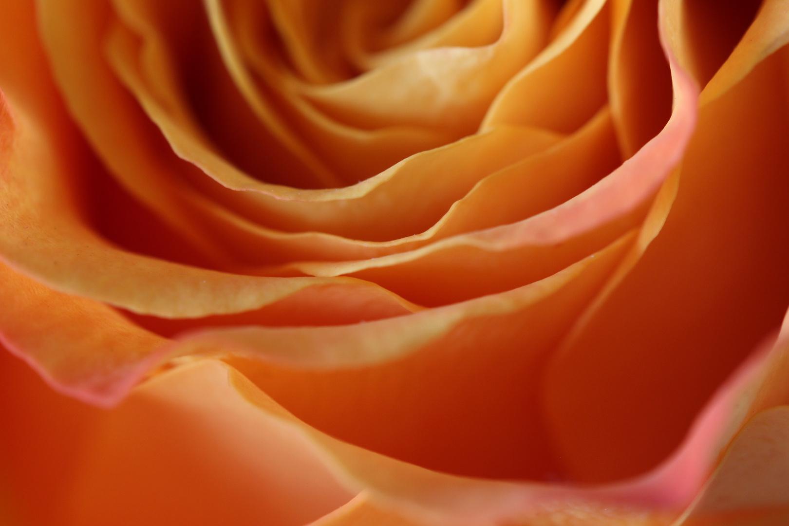 Eine Rose;)