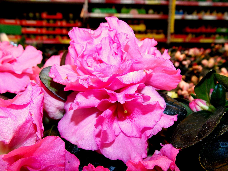 ~eine rose ?