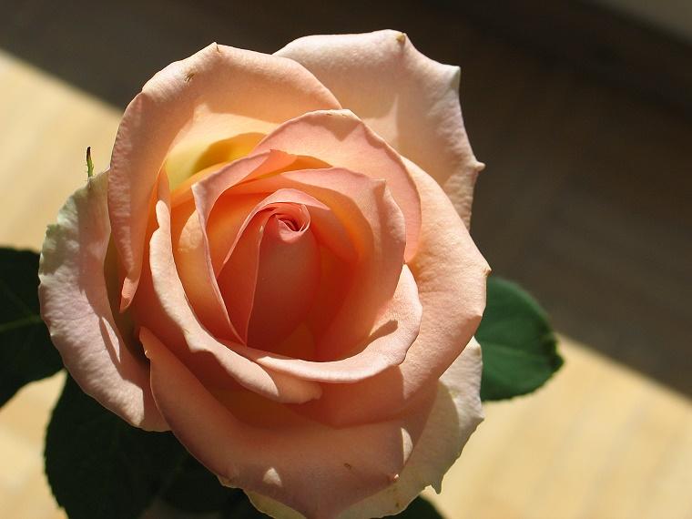 Eine Rose...