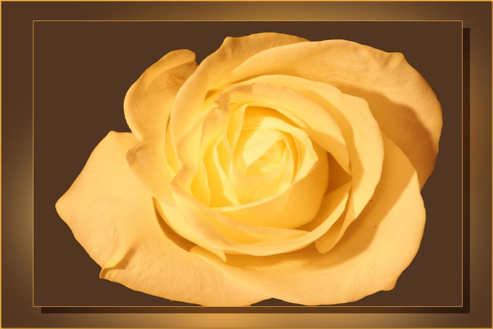 Eine Rose..