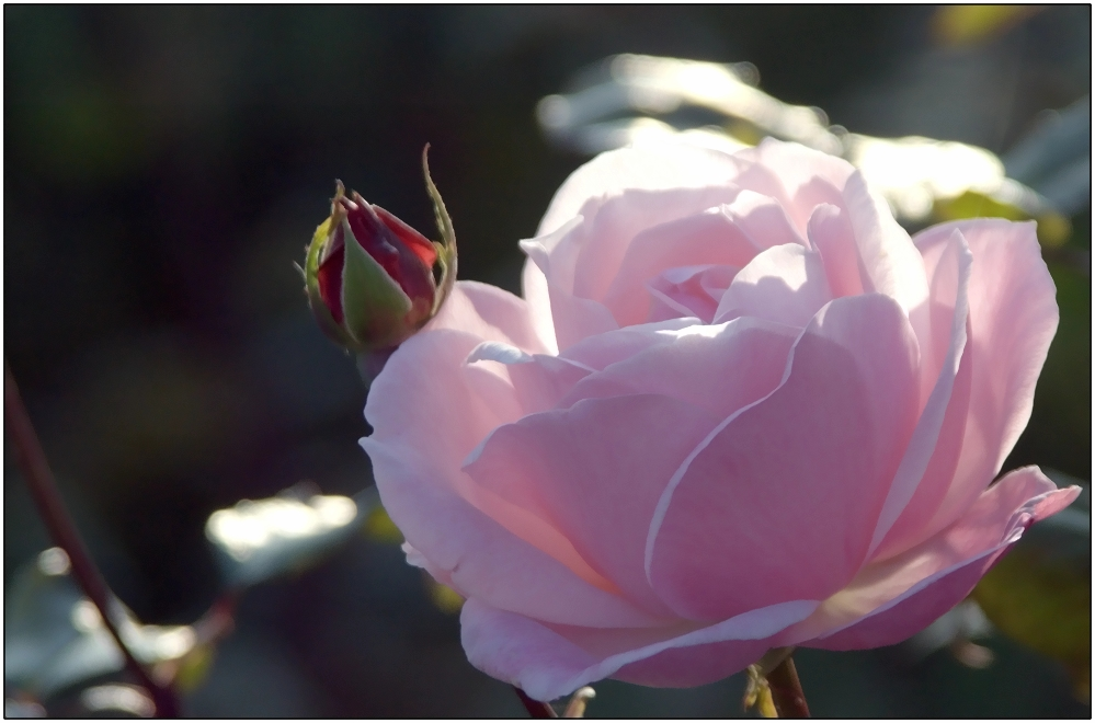 ... eine Rose ...