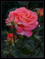 Eine Rose als Dankeschön für mein erstes Sternchen !!