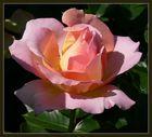 ....eine Rose als Gruss....