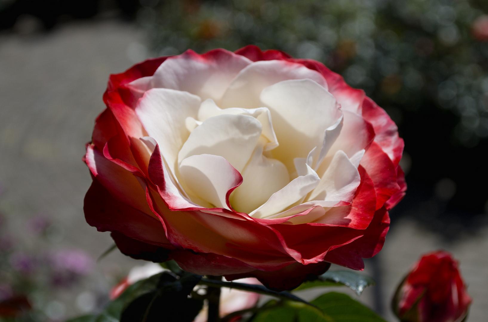 Eine Rose aus Arcen!!!