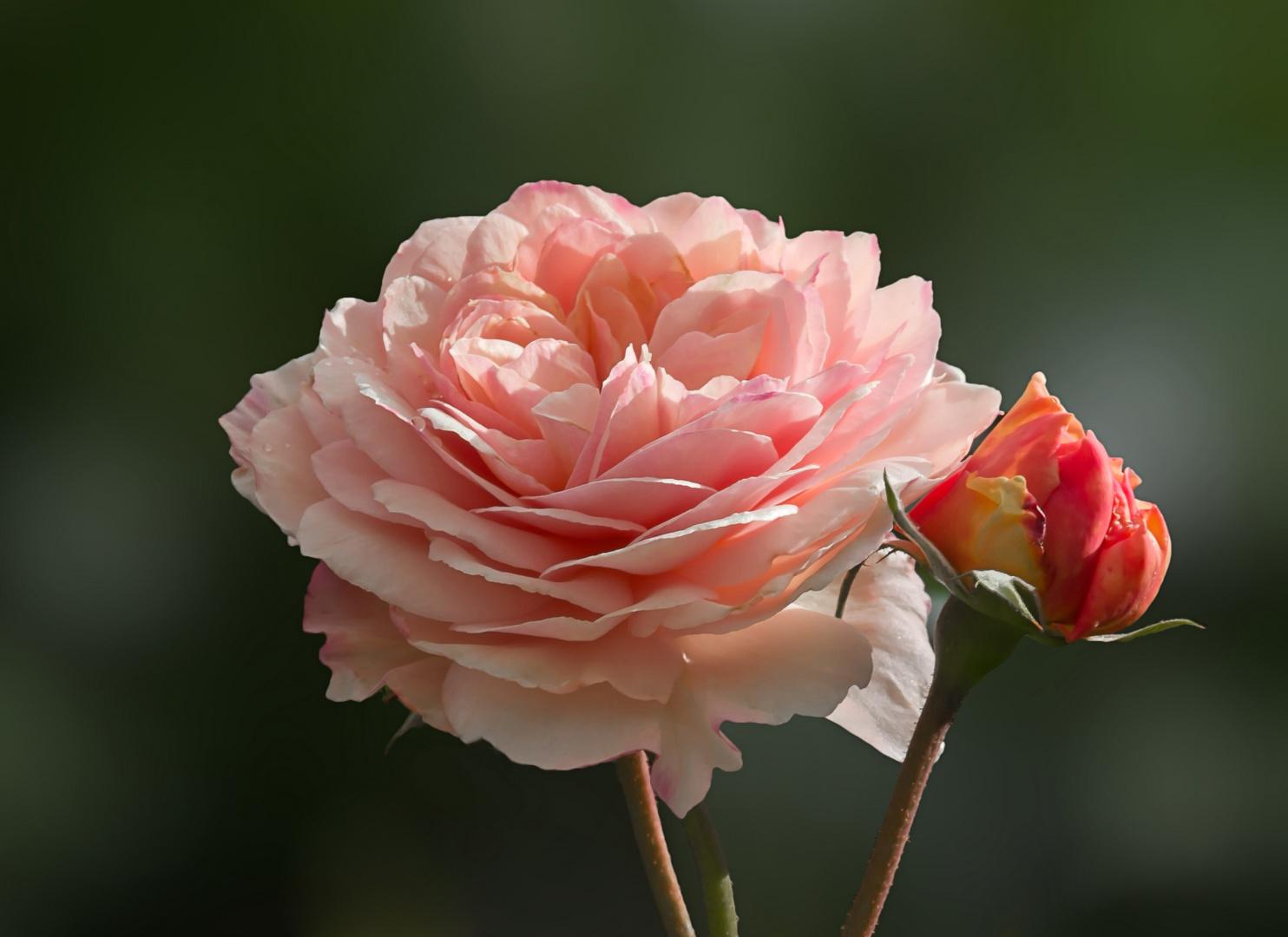 Eine Rose aus meinem Garten...