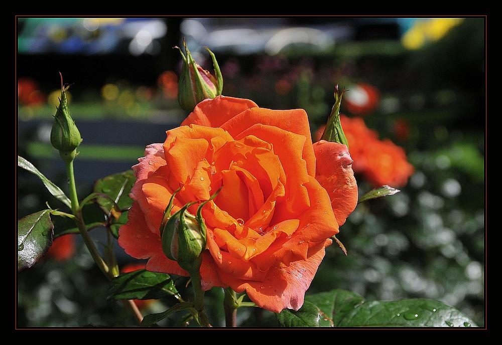 Eine Rose aus Montreux