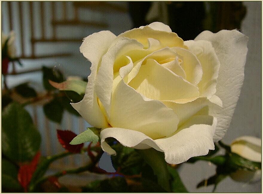 eine Rose aus Papier ...