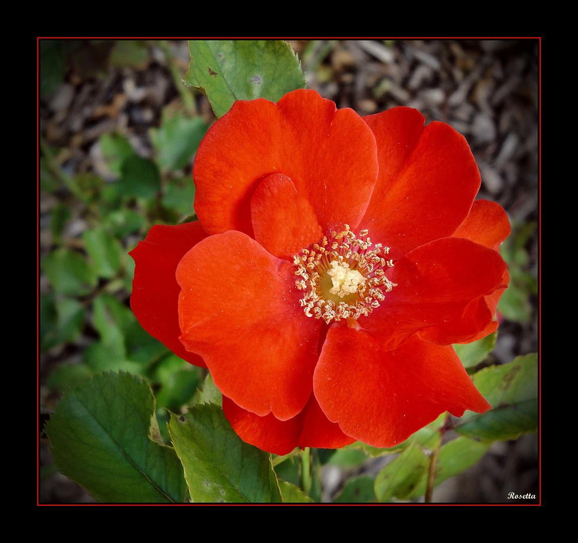 Eine Rose . . . .