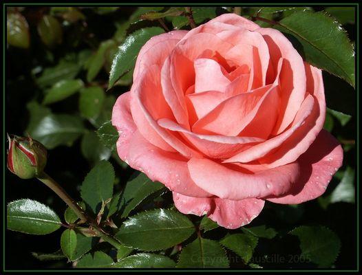 Eine Rose ...