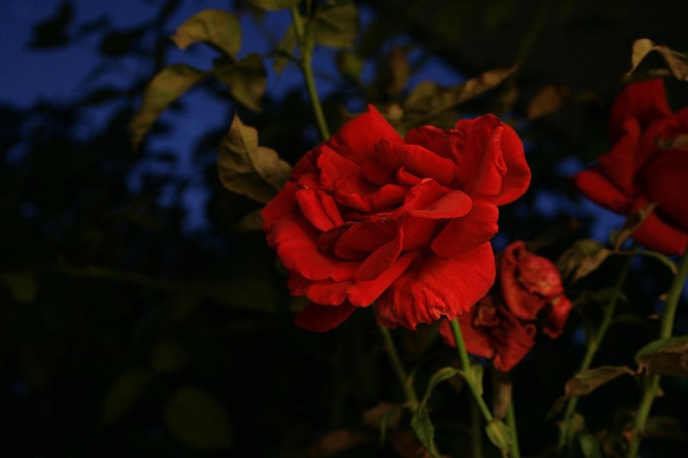 Eine Rose bei Nacht
