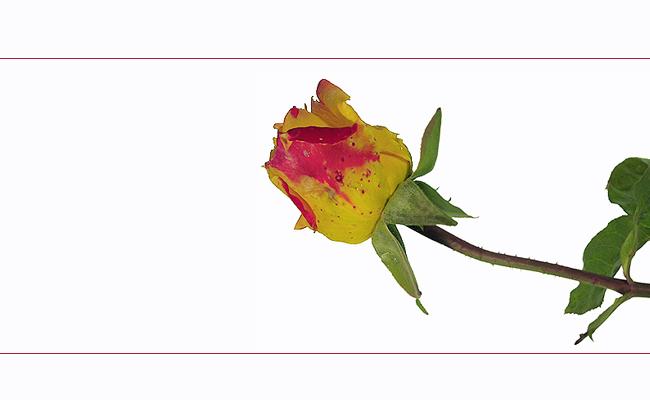.... eine Rose für ???
