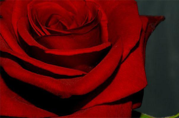 eine rose für ...