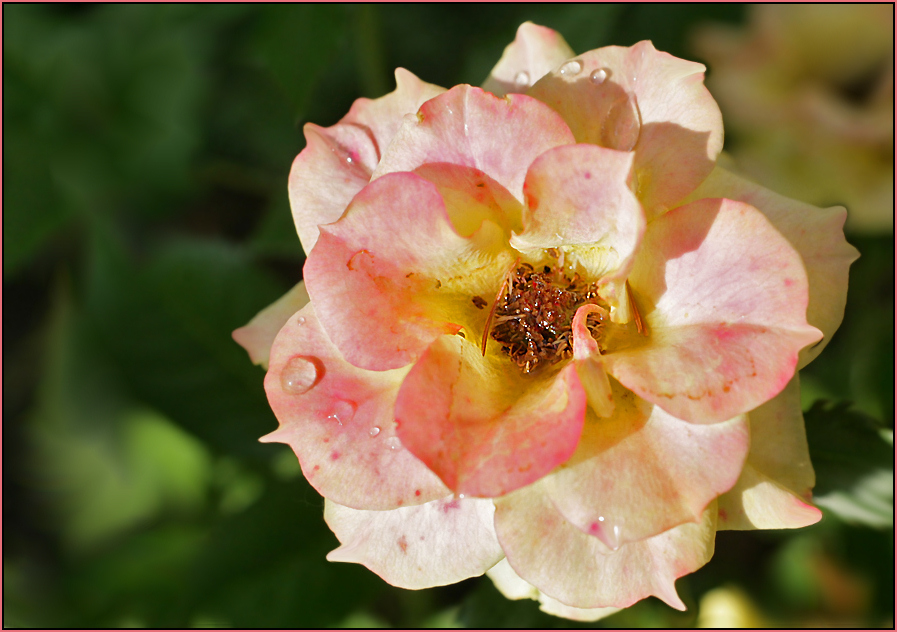 eine Rose für ......