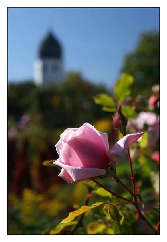 Eine Rose für den Campanile